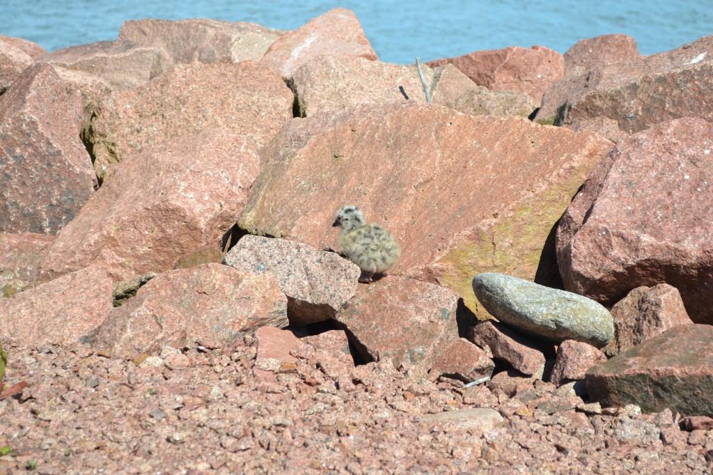 Linnunpoikasia pujahti esiin vähän sieltä ja täältä. Tämäkin kaivautui hetkeksi esiin jostakin kiven raosta... Tunnistaako joku, minkä siivekkään muksu tämä mahtaa olla?