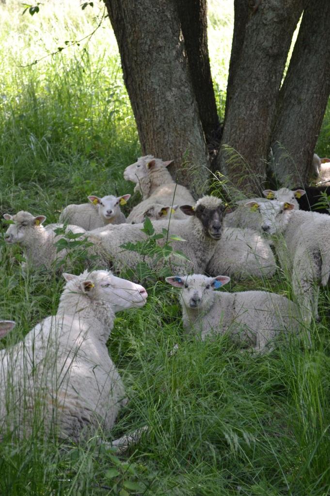 Näillä lampailla tuntui olevan hyvät oltavat puun varjossa.
